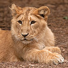 Pho the Lioness