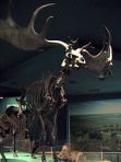 This irish Elk is still ready to fight!
