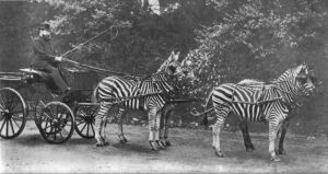 Zebra as draft animals