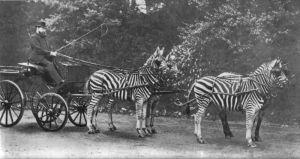 Zebra as draft animals