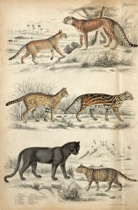 A variety of big cats