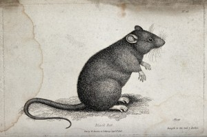 Rats remember